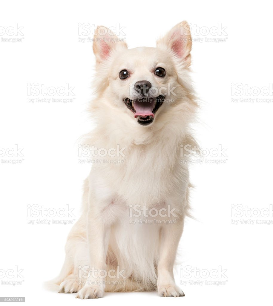 Chihuahua sitting in front of a white background stock photo