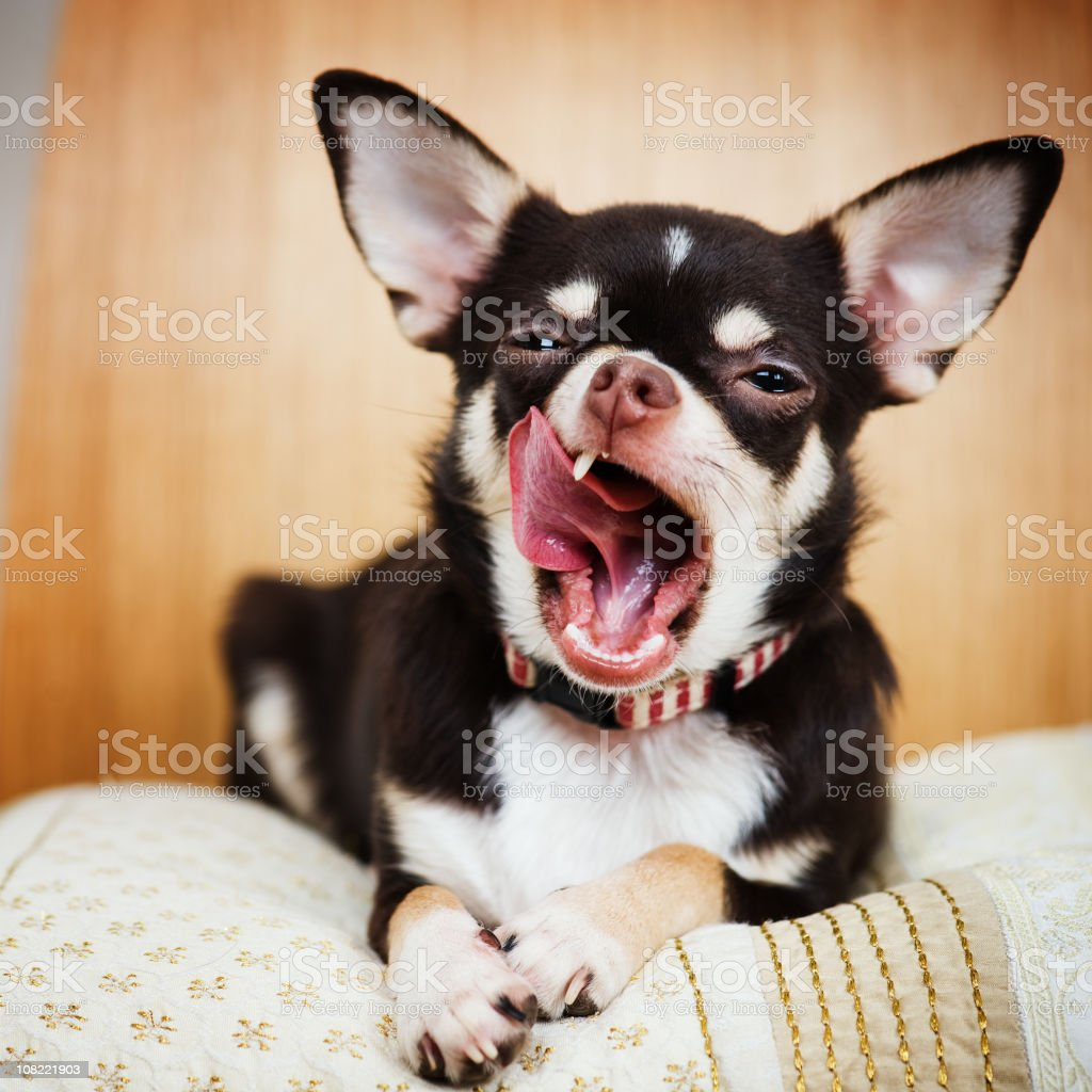 Chihuahua Sitting on Blanket and Yawning stock photo
