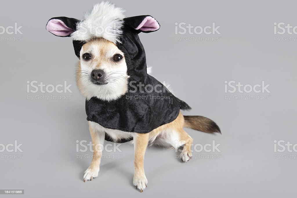 chihuahua skunk dressed for Halloween stock photo