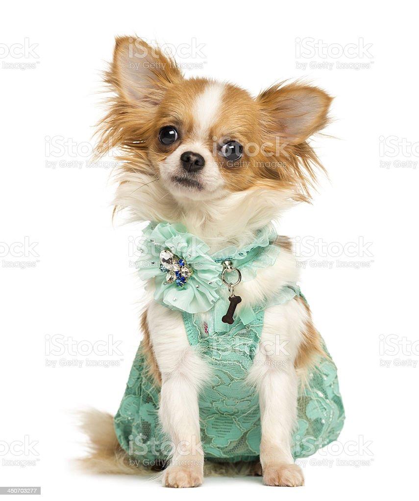 Chihuahua wearing a green dress sitting, looking at the camera stock photo