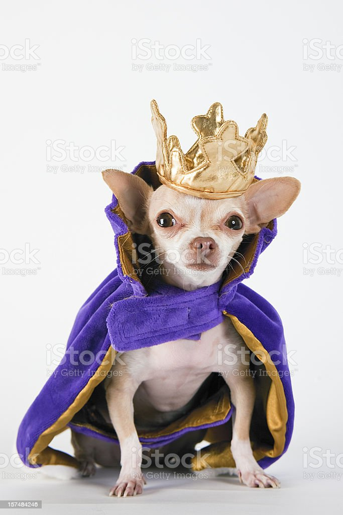 Chihuahua wearing a purple robe and crown stock photo