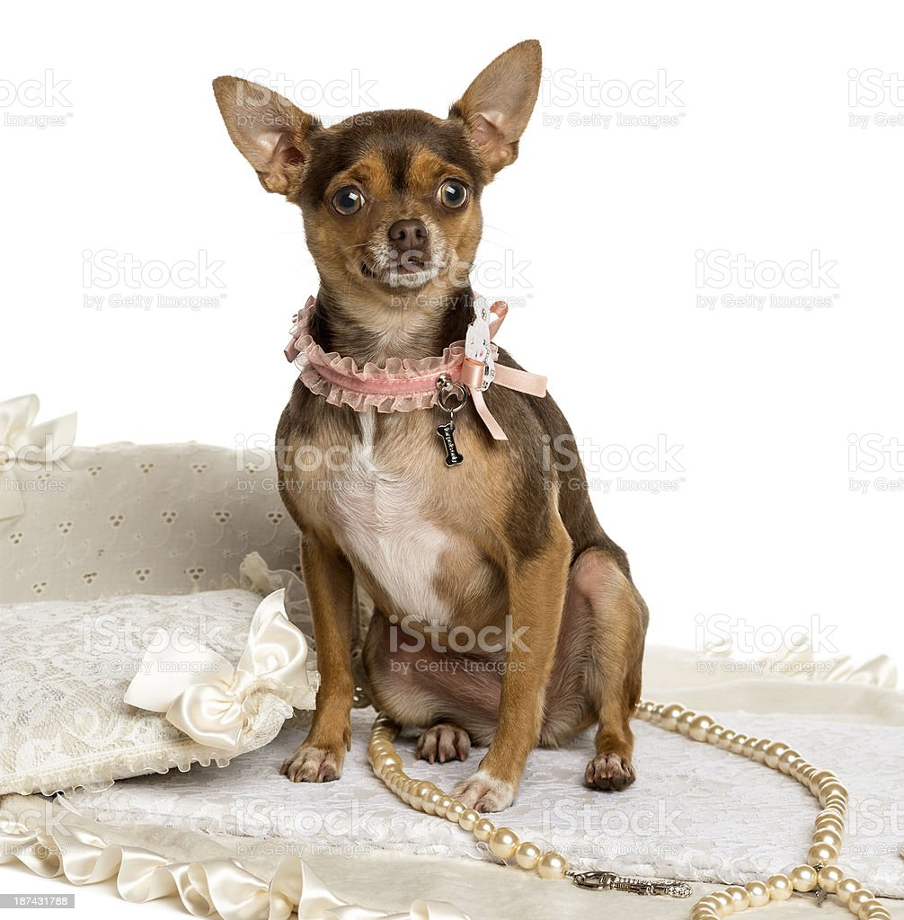 Chihuahua wearing bow collar, sitting on a carpet, isolated stock photo