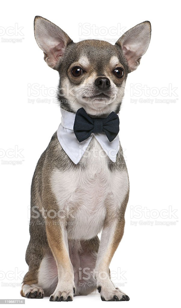 Chihuahua wearing bowtie, 3 years old, sitting, white background. stock photo