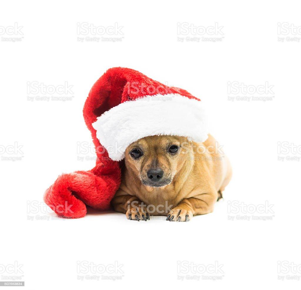 Chihuahua Wearing Christmas Stocking - Center stock photo