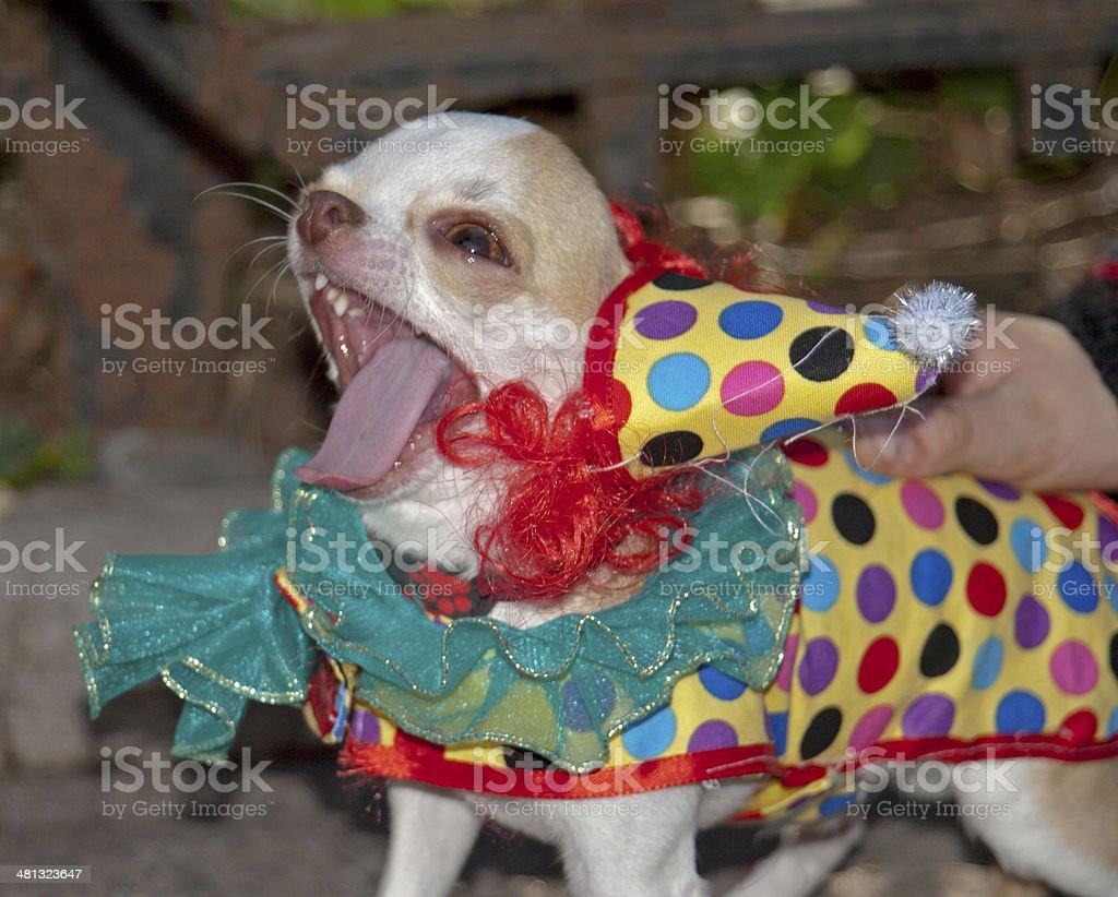 Chihuahua Wearing Clown Costume stock photo