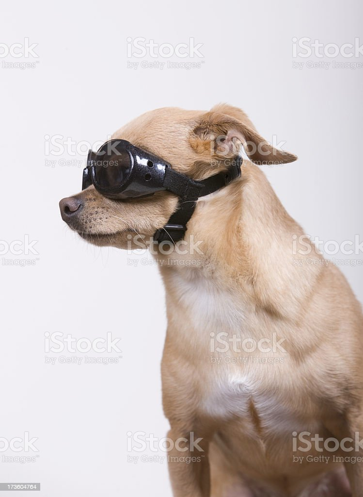 Chihuahua wearing Goggles royalty-free stock photo