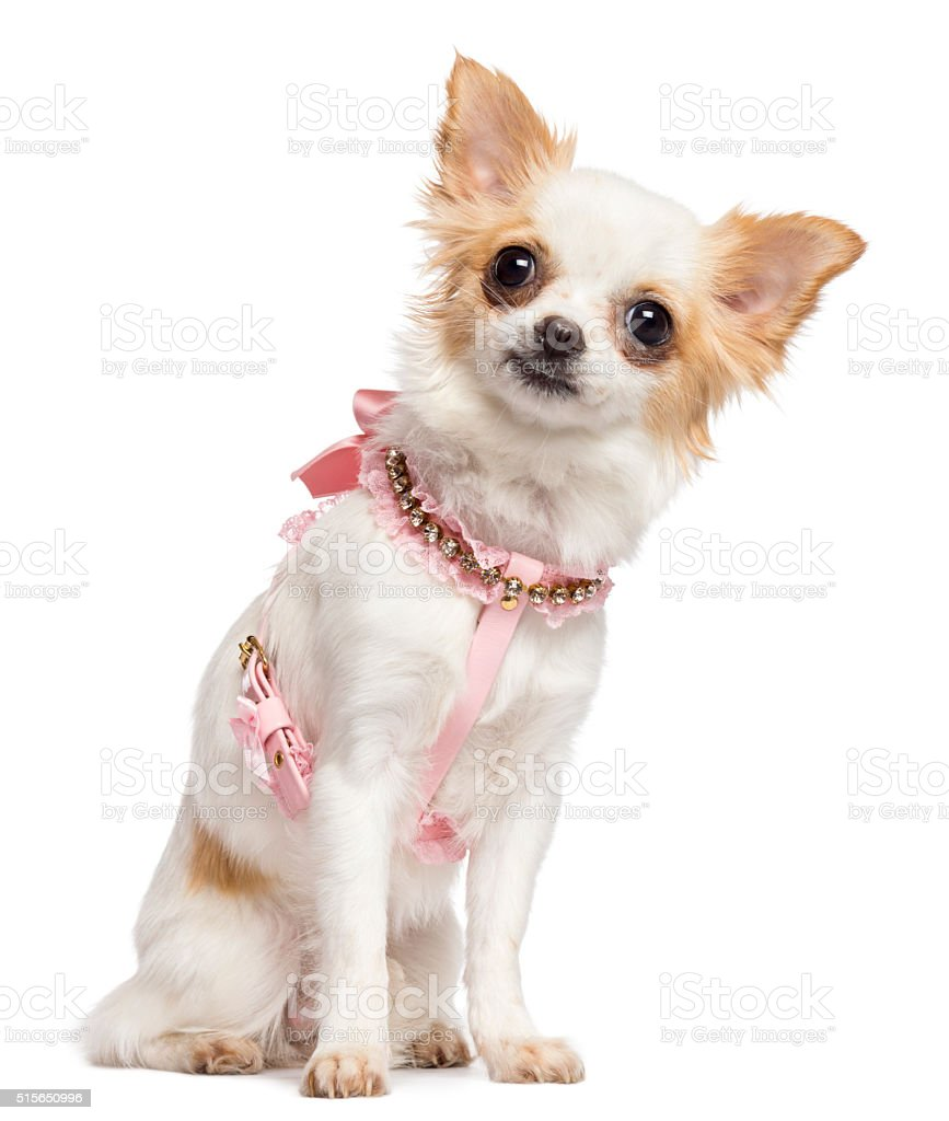 Chihuahua wearing pink harness sitting and looking at camera stock photo