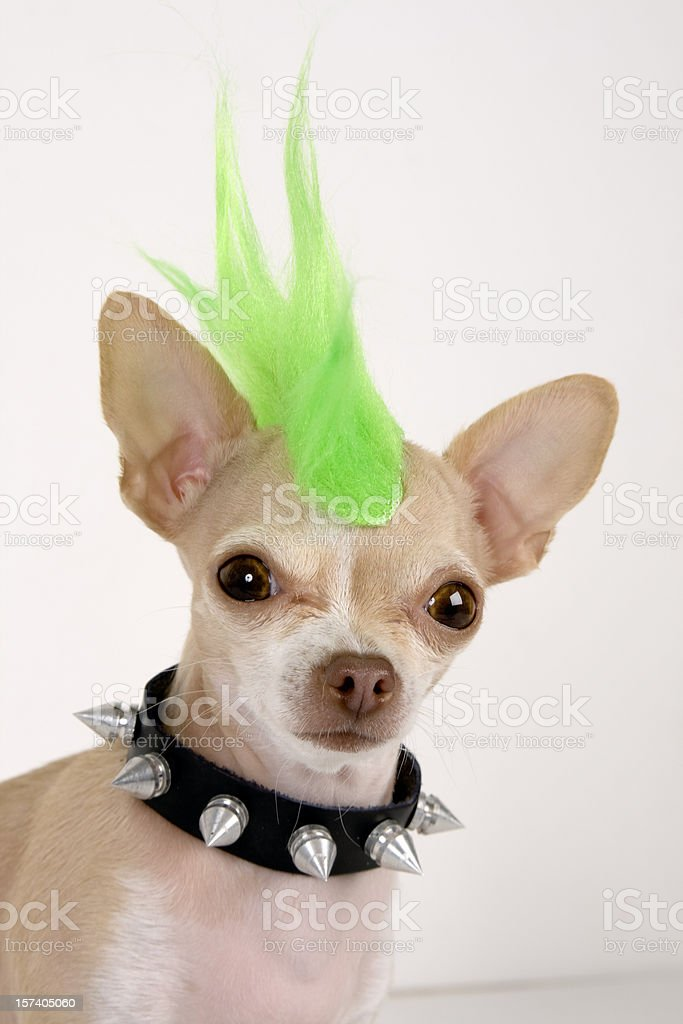 A Chihuahua with a green punk hair stock photo