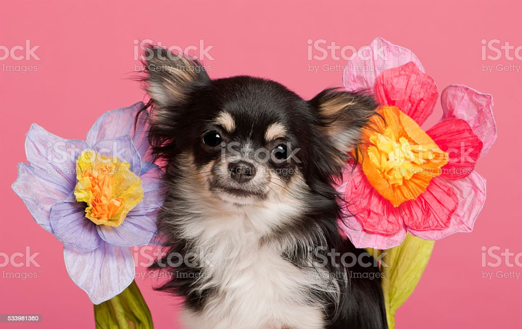 Chihuahua with flowers in front of pink background stock photo
