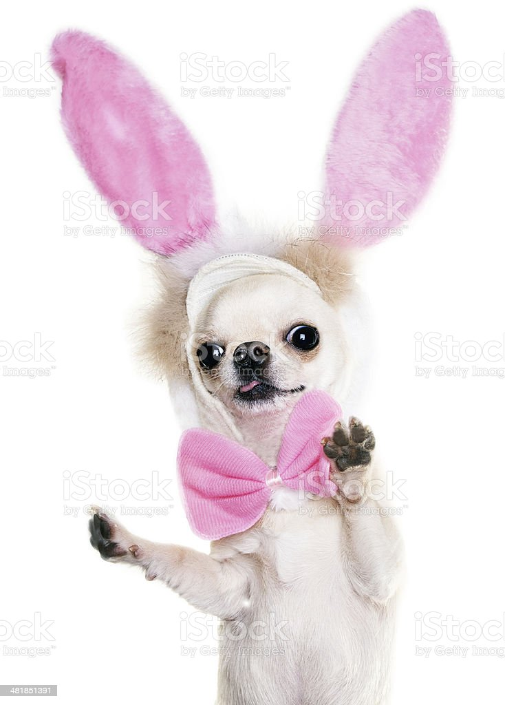 chihuahua with funny ears stock photo