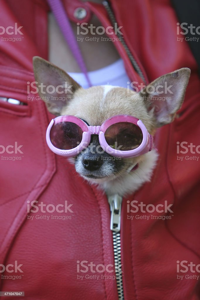 Chihuahua with goggles royalty-free stock photo