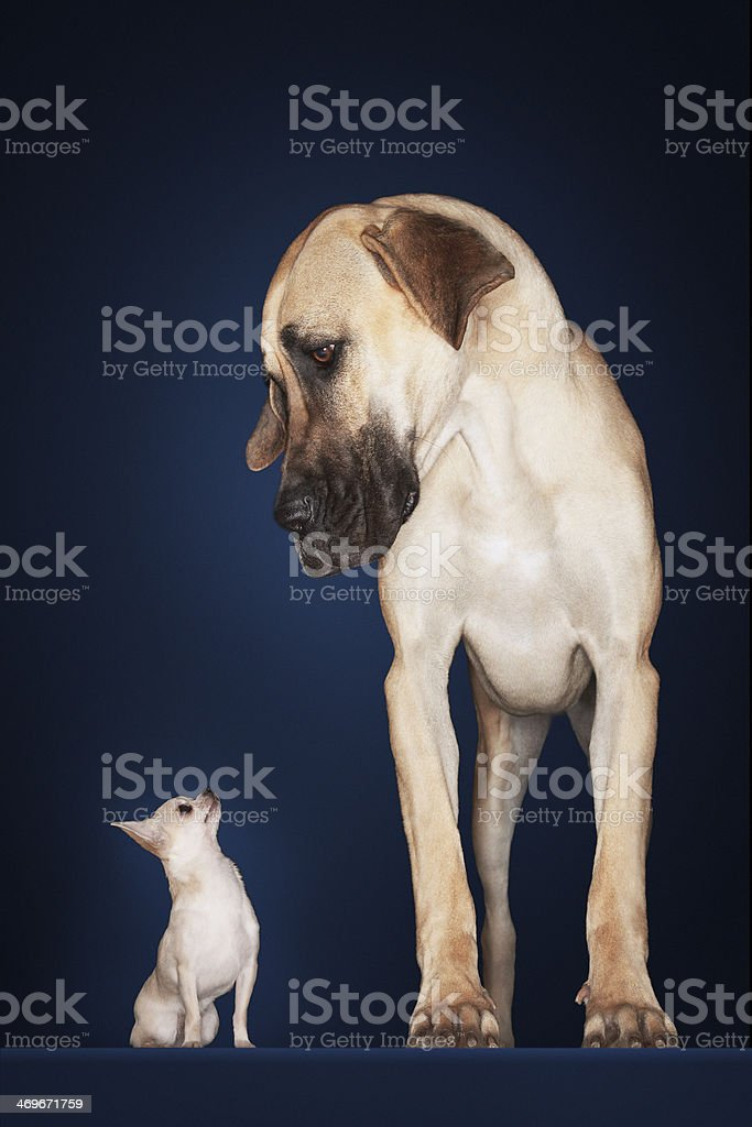 Chihuahua With Great Dane Standing Alongside stock photo