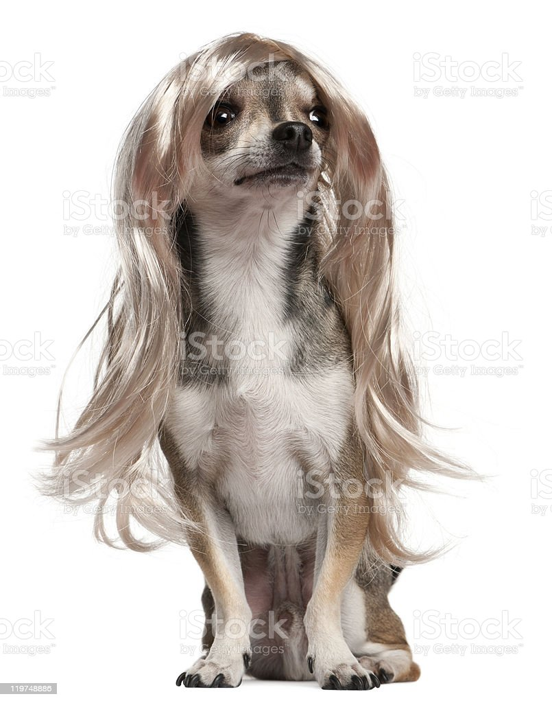 Chihuahua with long hair wig, sitting, white background. stock photo