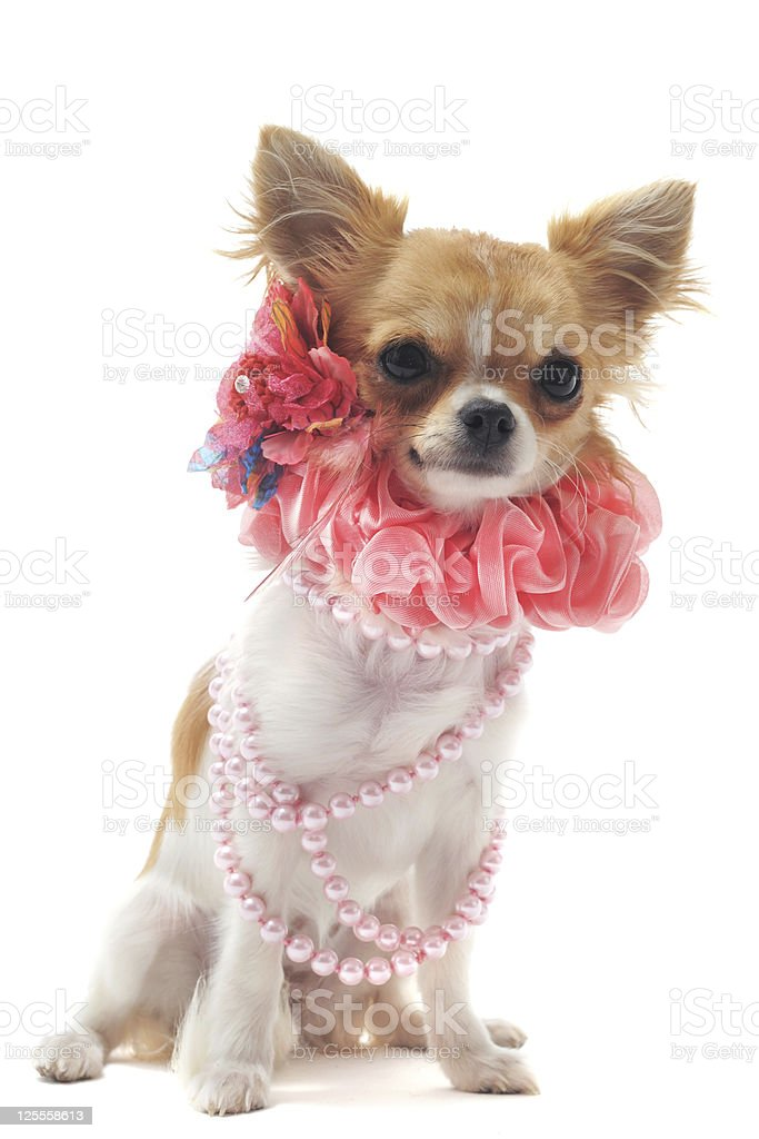 chihuahua with pearl collar royalty-free stock photo