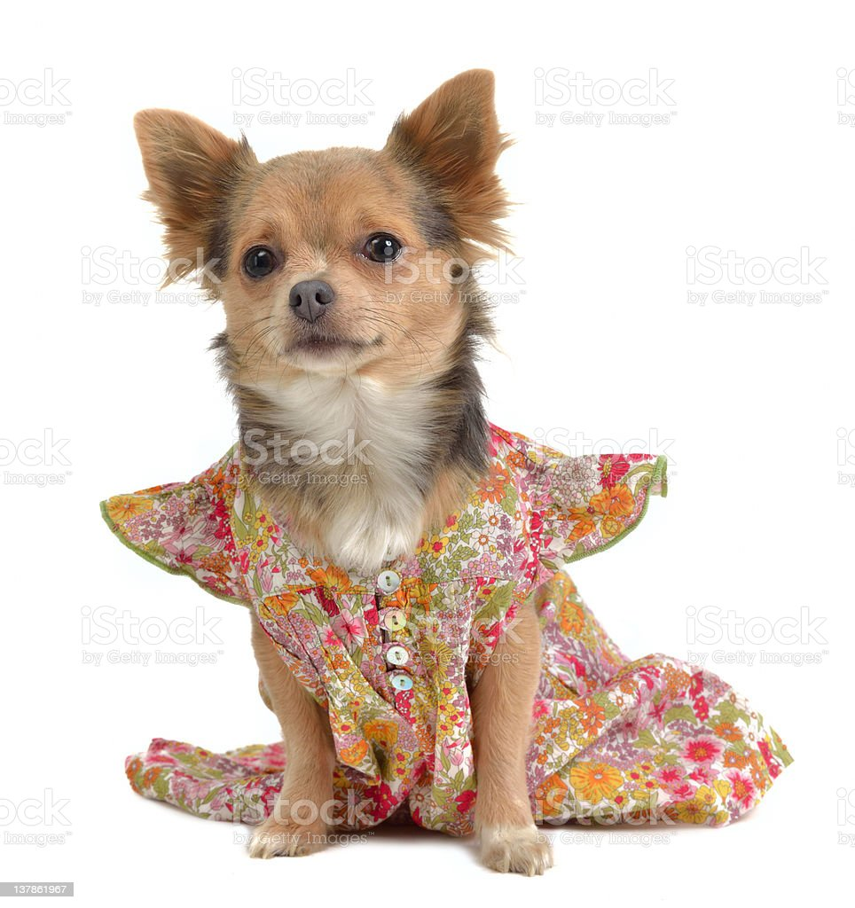 Chihuahua with rural style dress royalty-free stock photo
