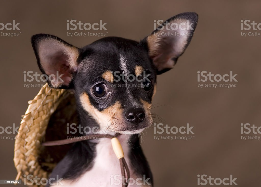 Chihuahua with Straw Hat royalty-free stock photo