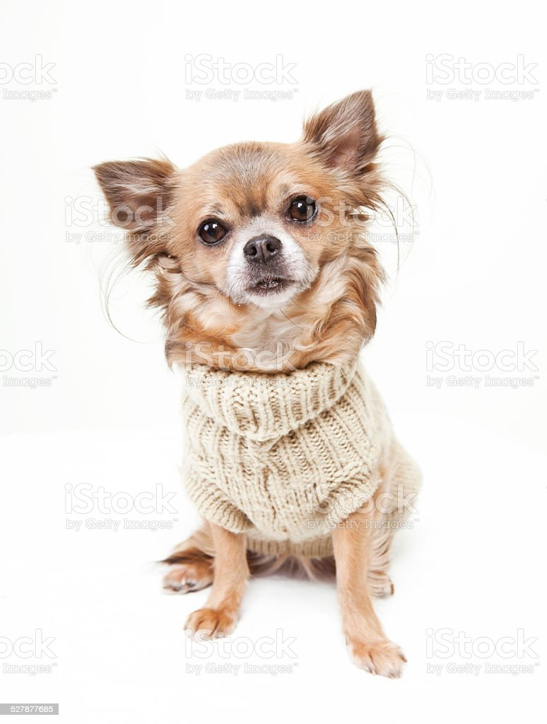 chihuahua with wool sweater stock photo