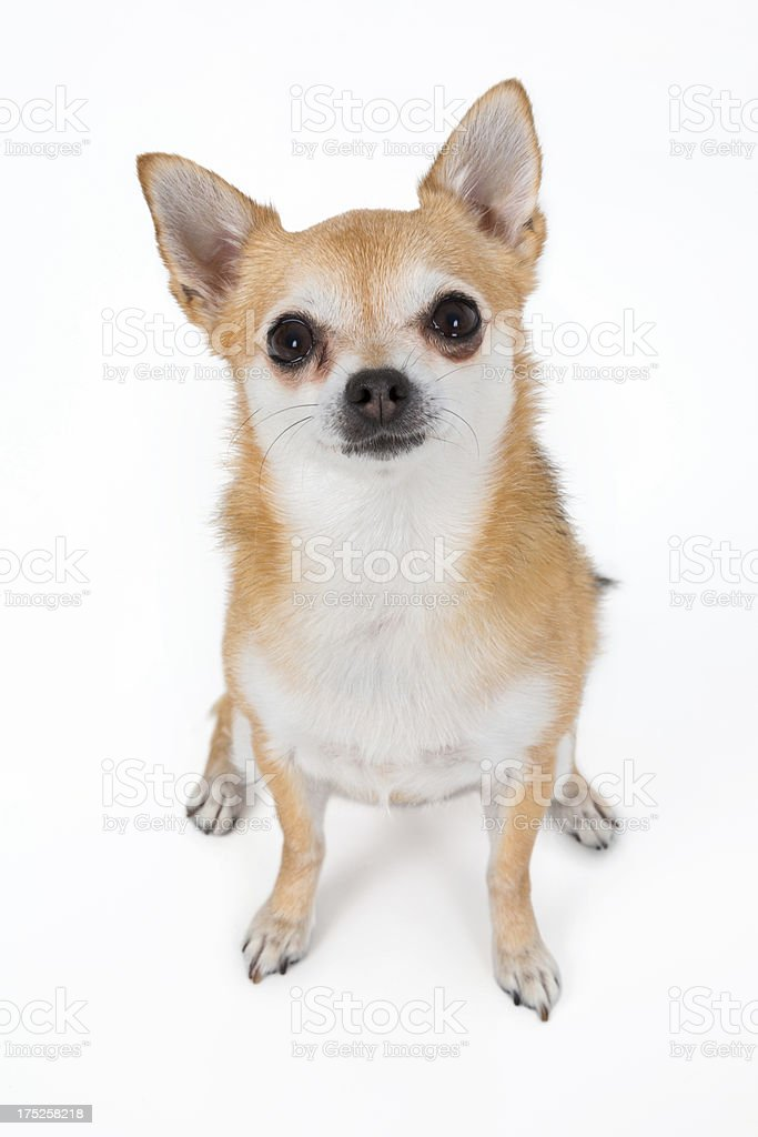 chihuahua  without collar and  tags looking at camera stock photo