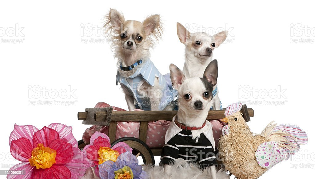 Chihuahuas dressed up and in dog bed wagon, white background. royalty-free stock photo