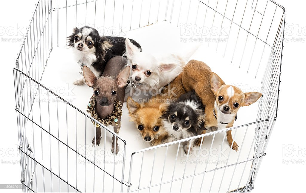Chihuahuas in cage against white background royalty-free stock photo