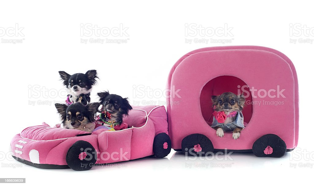 chihuahuas in car royalty-free stock photo