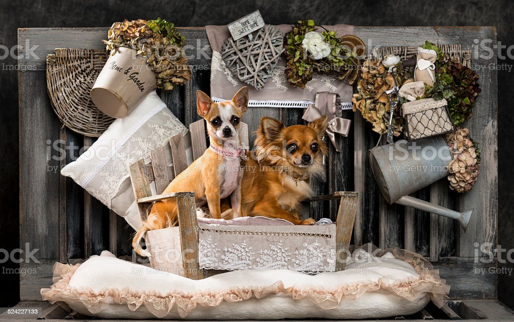 Chihuahuas in front of a rustic background stock photo