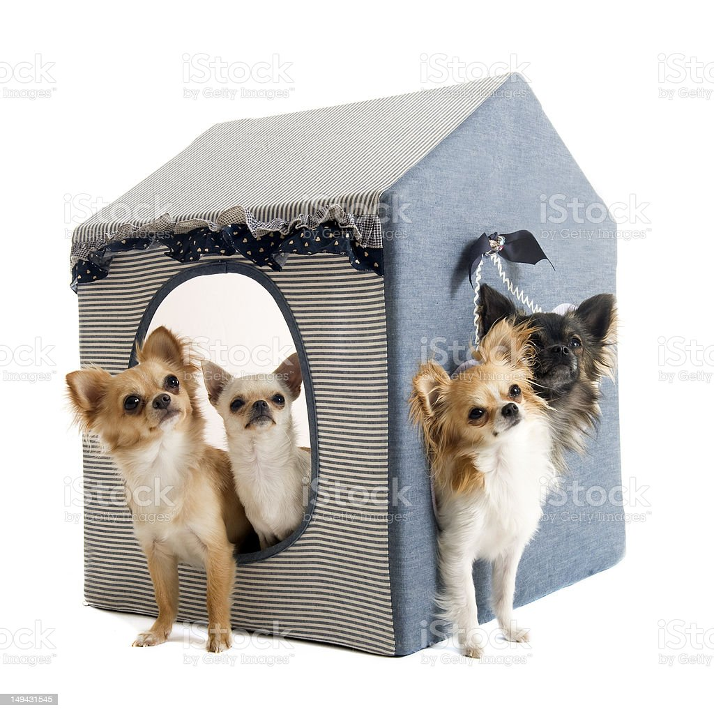 chihuahuas in house dog royalty-free stock photo