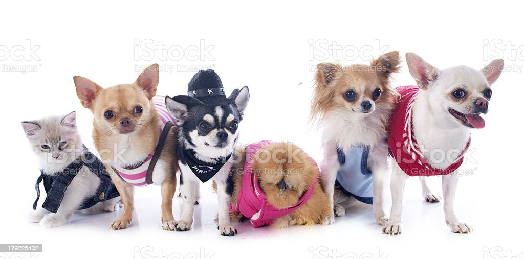 chihuahuas, kitten and chicken royalty-free stock photo