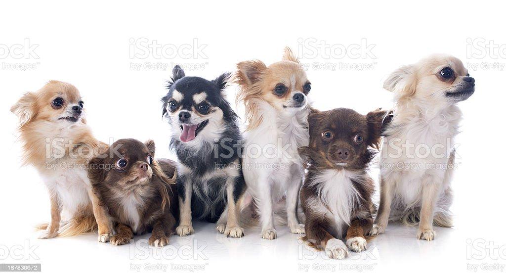 chihuahuas royalty-free stock photo