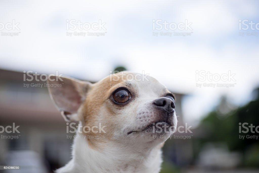 Chihuahuas photo libre de droits