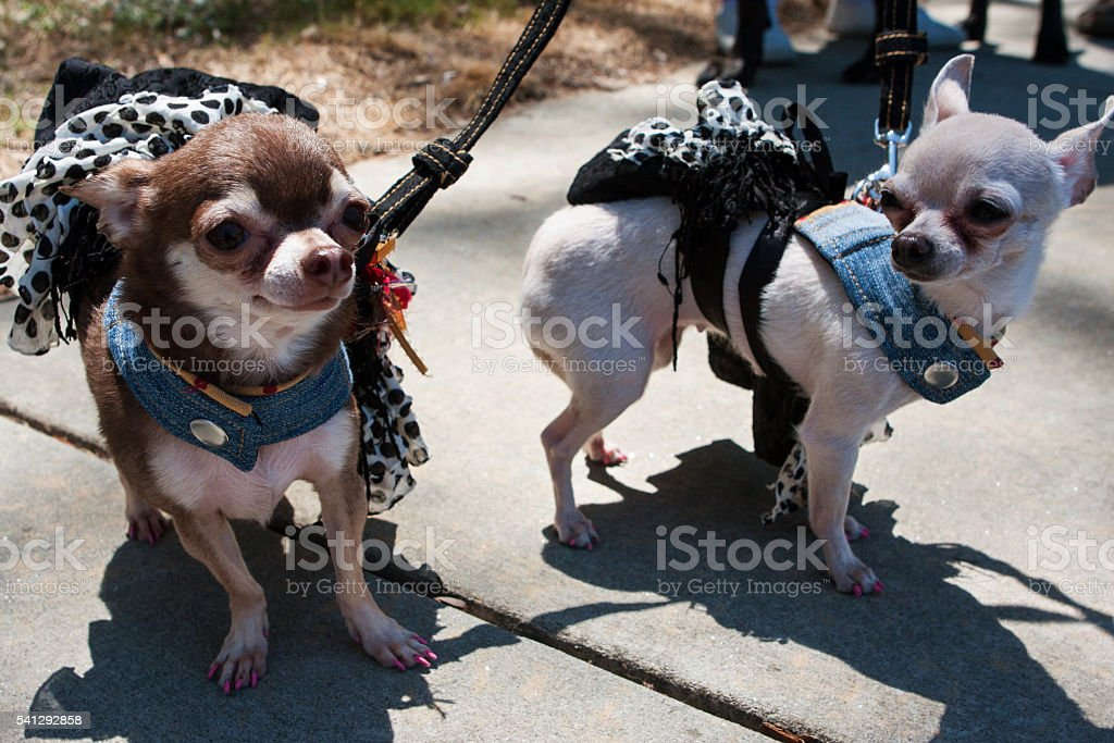 Chihuahuas Wear Identical Costumes At Dog Fashion Show stock photo