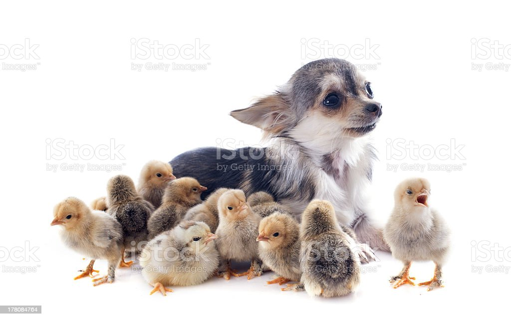 chiks and chihuahua royalty-free stock photo