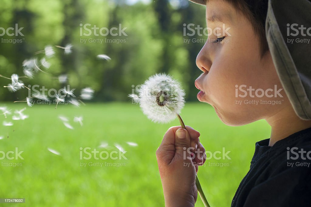 Child boy blowing in a dandelion stock photo