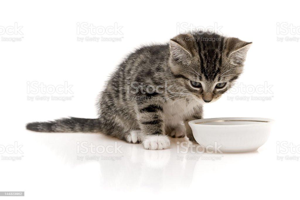 Child cat drinking royalty-free stock photo