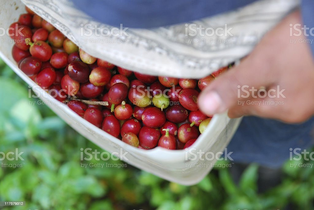 child collecting ripe red coffee bean cherries in Panama royalty-free stock photo