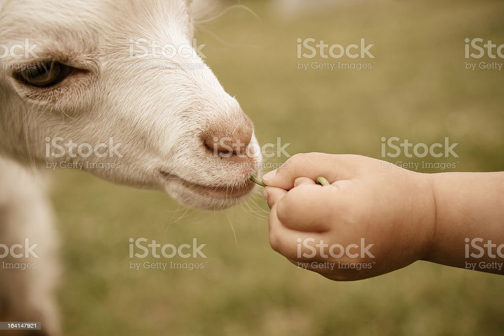 Child feeding a Kid Goat royalty-free stock photo