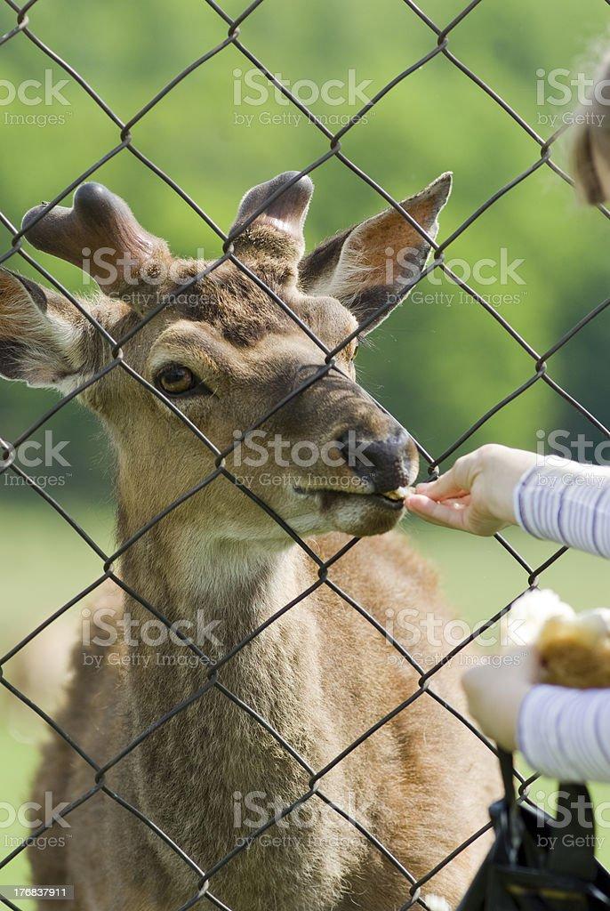 Child feeding deer royalty-free stock photo