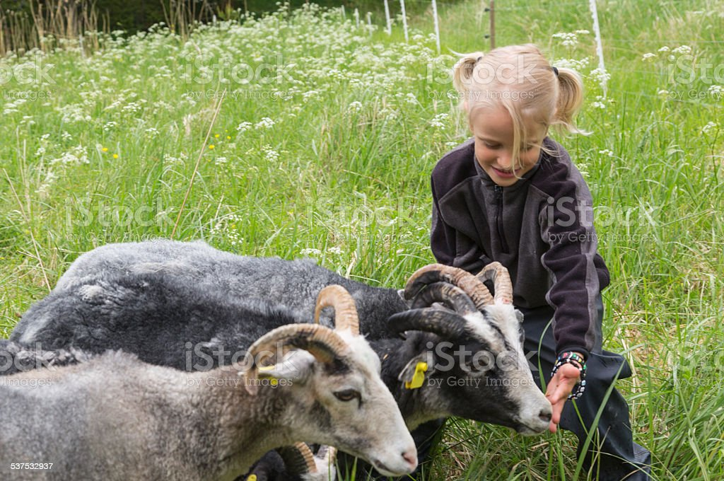 Child feeding sheep in the meadow. stock photo