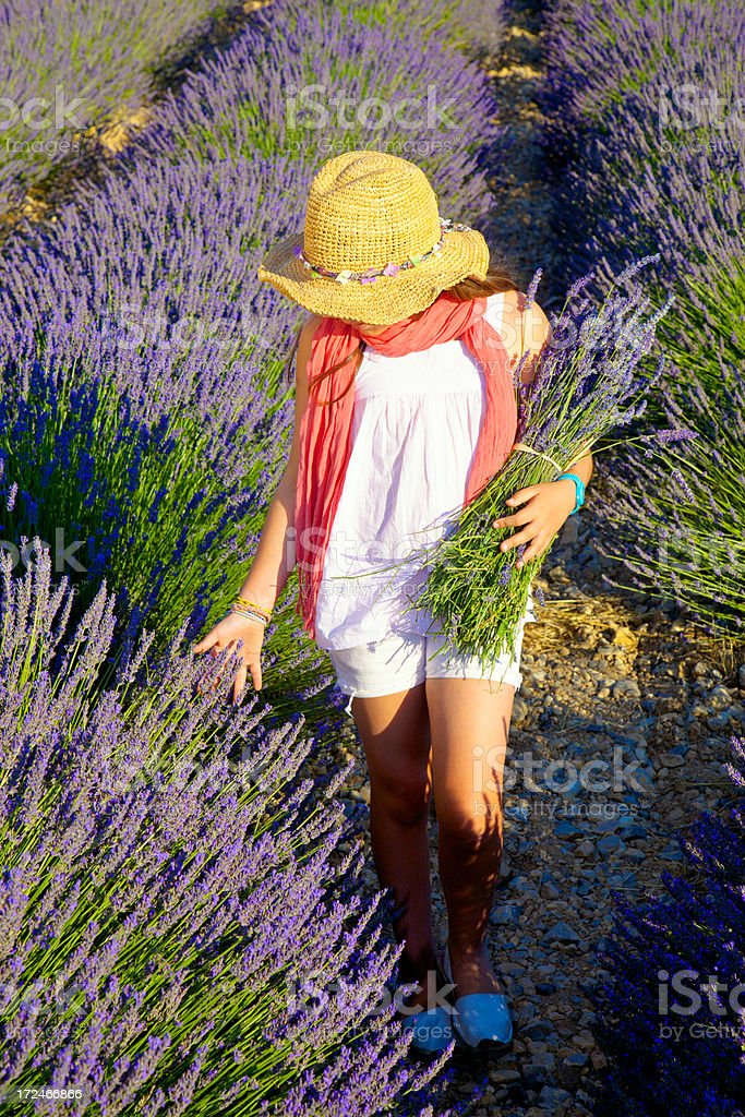 Child gathering lavender. royalty-free stock photo