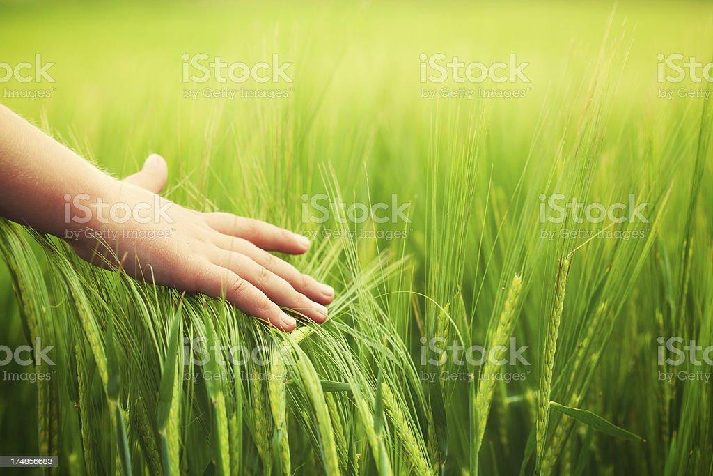 Child hand in wheat field stock photo