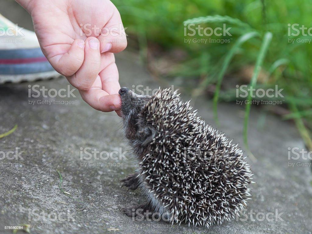 Child hand stroking hedgehog stock photo