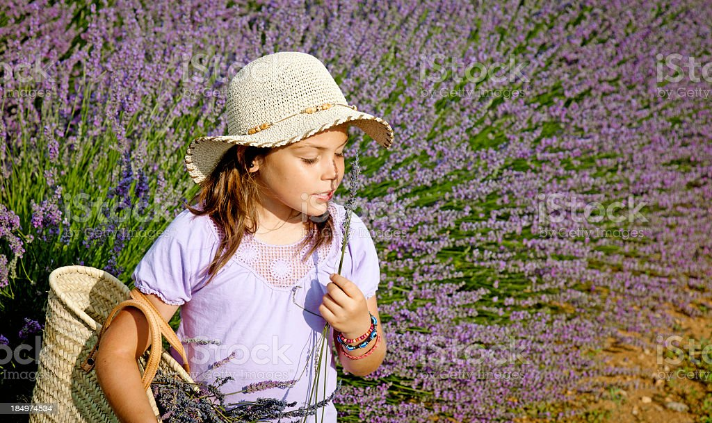 Child harvesting lavender royalty-free stock photo