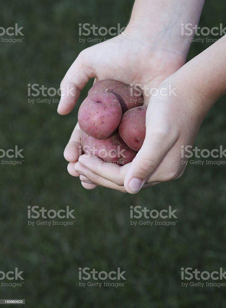 Child holding fresh potatoes royalty-free stock photo