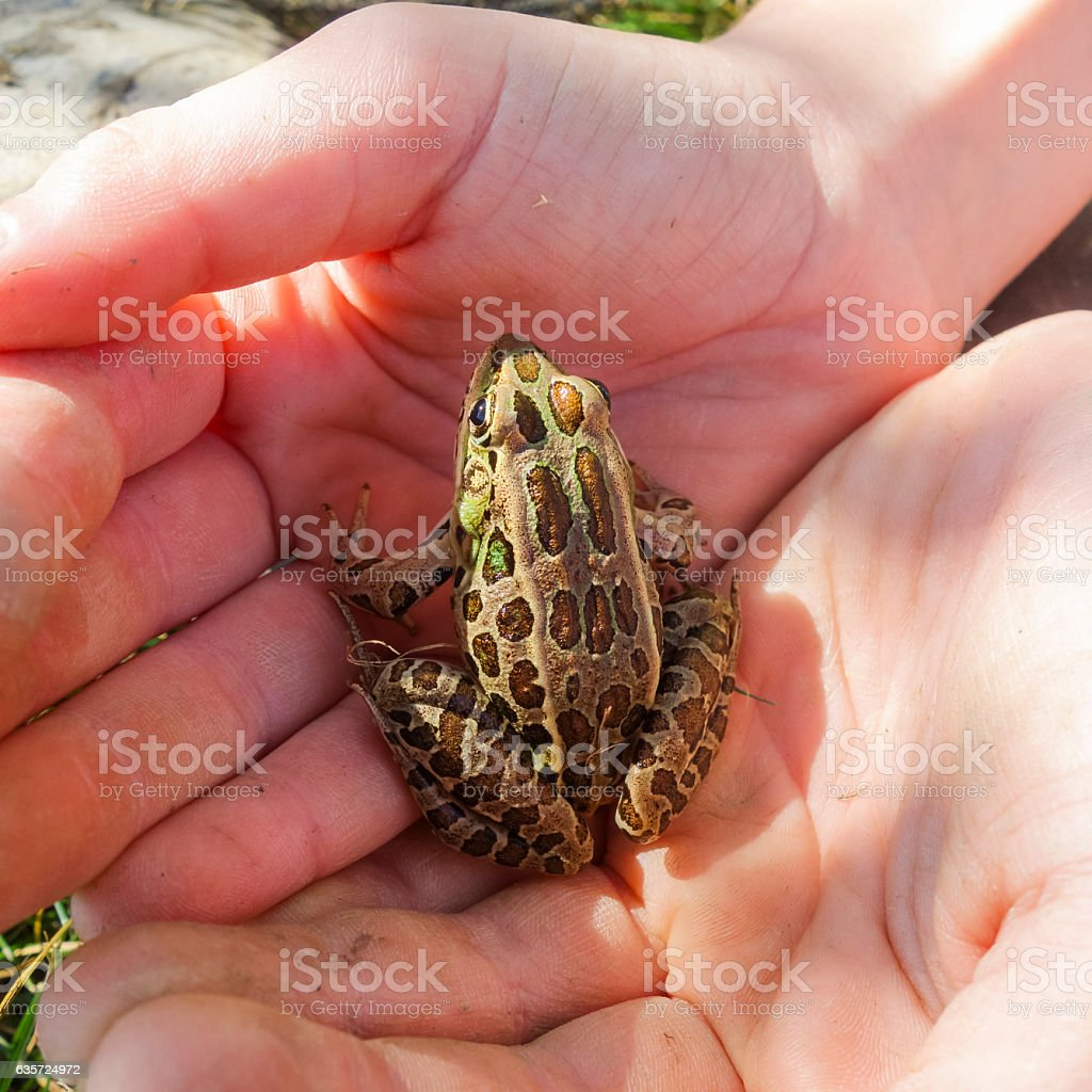 Child Holding Leopard Frog in her Cupped Hands stock photo