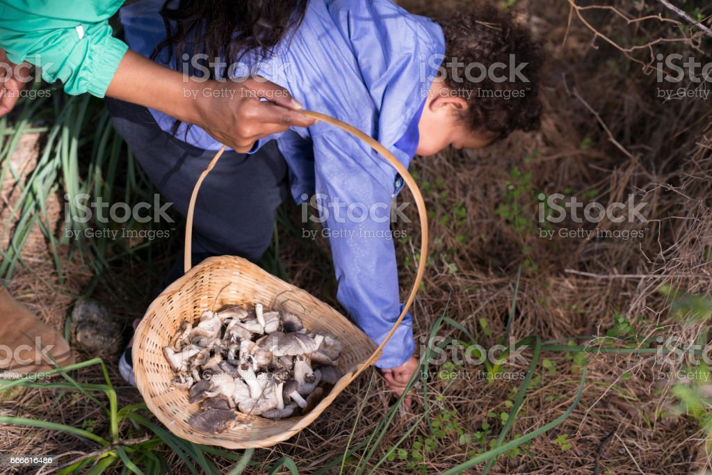 Child  picking and putting in wicker wild mushrooms. stock photo