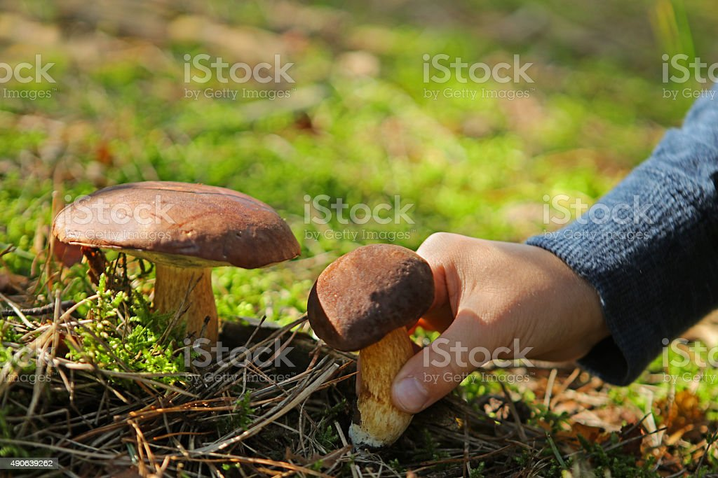 Child Picking Edible Mushrooms Boletus in The Forest stock photo