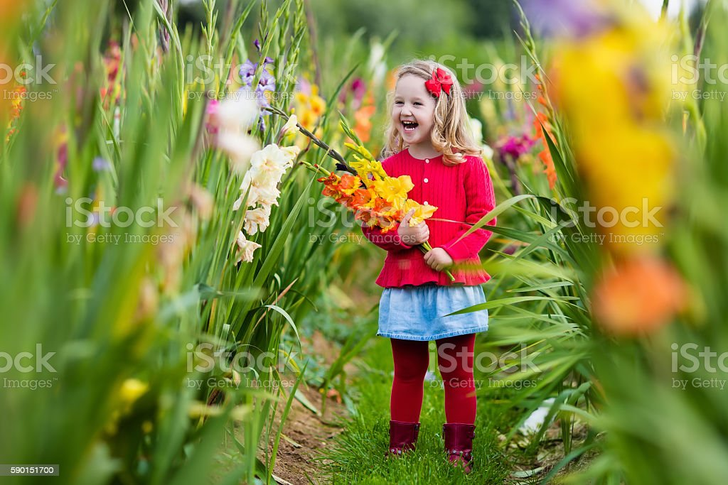 Child picking fresh gladiolus flowers in autumn stock photo