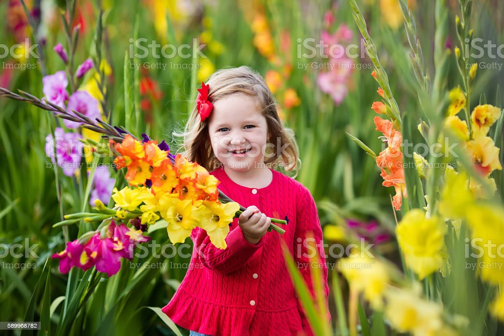 Child picking fresh gladiolus flowers stock photo