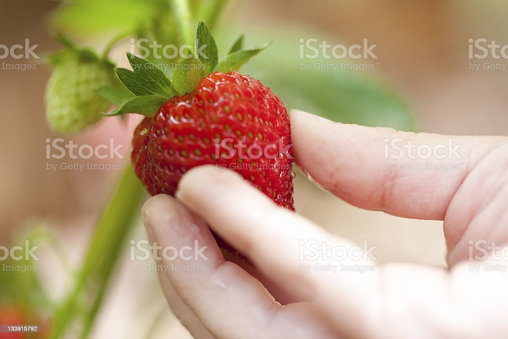 Child Picking Strawberry royalty-free stock photo