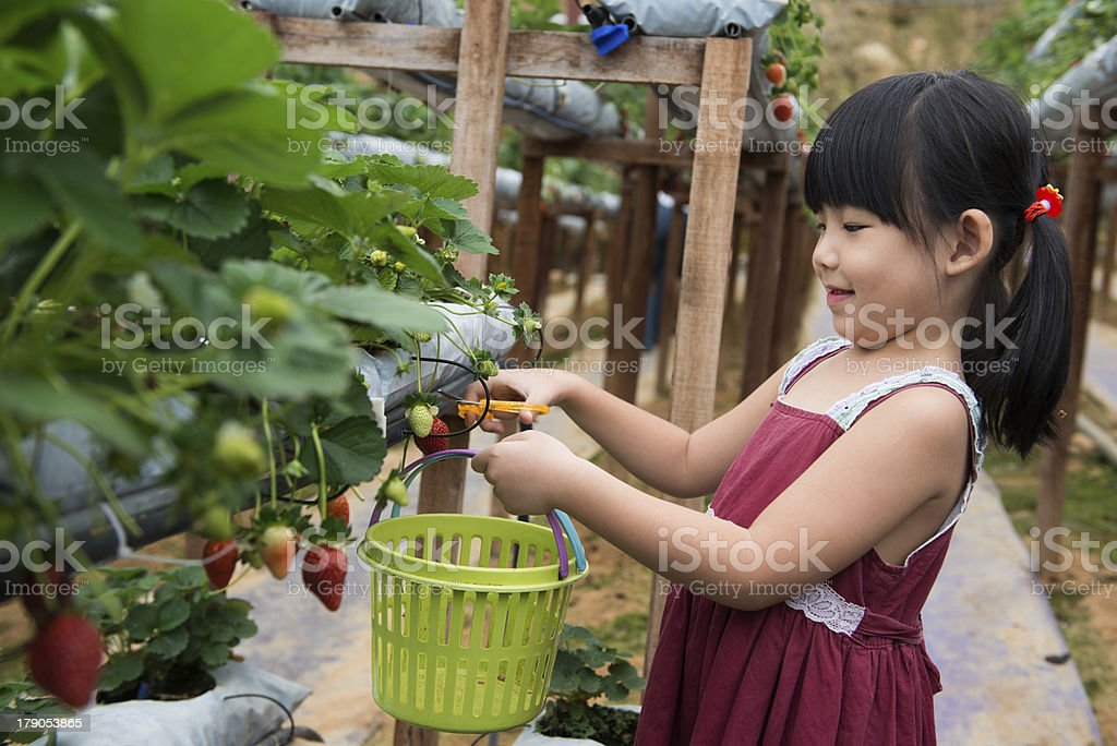 Child pluck strawberry royalty-free stock photo